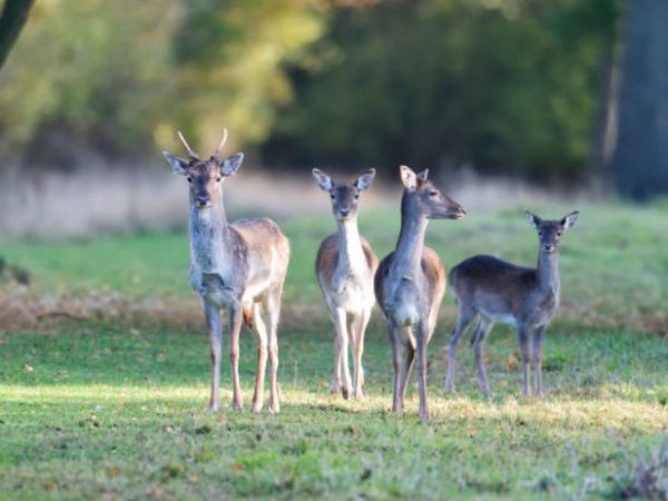 fallow pricket cropped