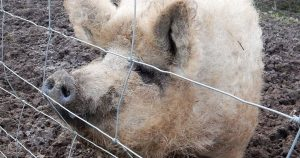 Isle of Wight wooly pig